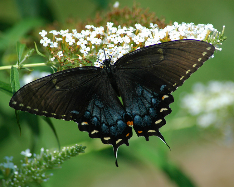 This spicebush swallowtail momentarily pauses to enjoy the nectar of the butterfly bush