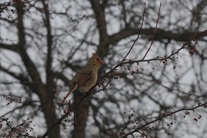 "Bob is this female cardinal singing or ""ticking?"""