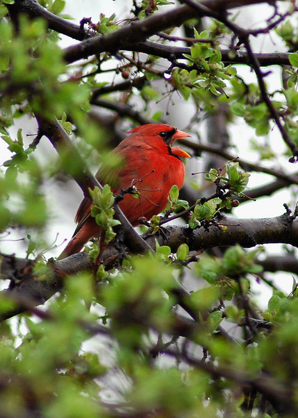 "This Cardinal calls for a mate. In the Spring, the sound of Cardinals' ""ticking,"" singing ""pretty, pretty, pretty"" and other melodious tunes makes for a joy-filled day for the avid birder"