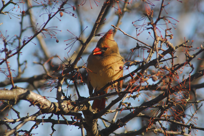 This is almost totally opposite from the photo above... female cardinal, in winter, on same tree, looking down.
