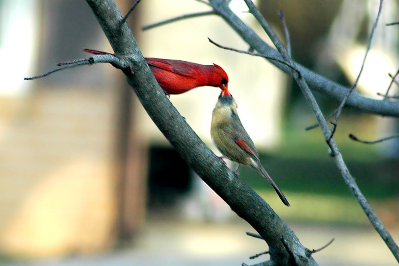 "The Kissing Cardinals are at it again. If you could see the complete set of this segment, you might have a bit of a chuckle. After the male flies away, the female wipes her beak on the branch as if to say, ""Yuck, a wet kiss!"""