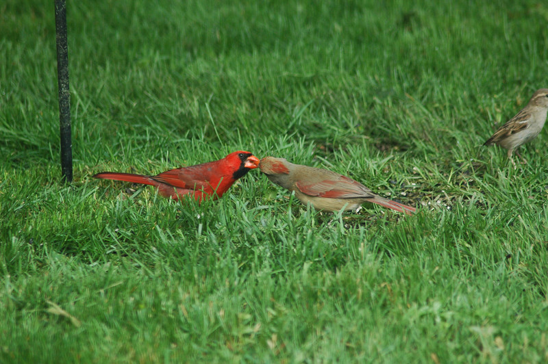 The Kissing Cardinals. This past summer this pair of cardinals frequented the feeders early morning and at dusk. It is a real treat to see them share a seed from a feeder--which is actually what they are doing.