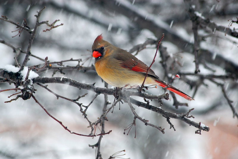 It was a miserable day. At times the snow would be coming down so thick birds had to take refuge among the branches in this tree. Once the wind died down and the air cleared of blowing snow, birds safely took flight. This female Cardinal sat cautiously eyeing the comical site of me with camera waiting for the right pose. Just as I snapped the picture, a snowflake fell on her brow, making for a nice touch to this wintery moment.