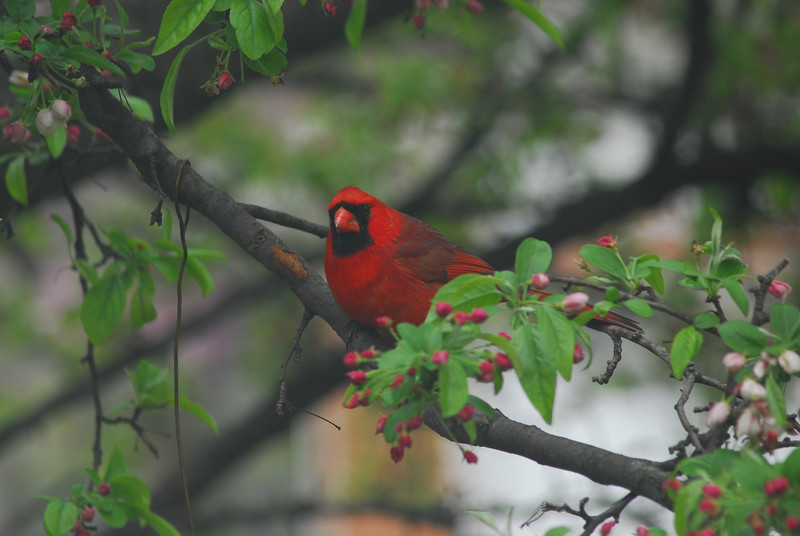 This cardinal still stands out among the spring leaves and berries