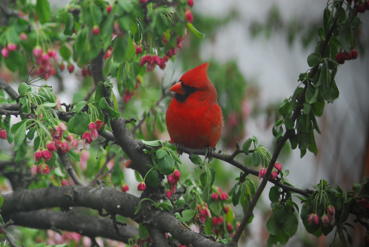 This Cardinal is enjoying a quiet moment surrouned by new growth
