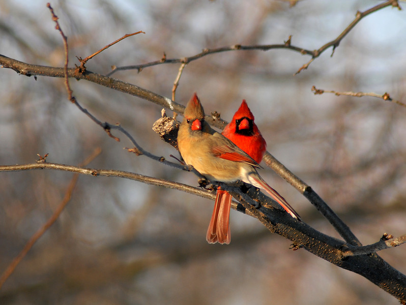 "Heart of my heart... these two cardinals perched together on the branch make a natural heart. They appear to be posing for a portrait. This pair frequent the feeders in my yard. The male frequently feeds the female as a gesture of affection. I have been able, on those moments when the light was right, to get a nice photograph of that tendor moment of the two sharing a seed together (see another photo of the two at a pump to observe ""the kiss""). This photograph is February's photograph for the local Community Town Planner calendar. Don't you think it makes a nice touch for Valentines Day?"