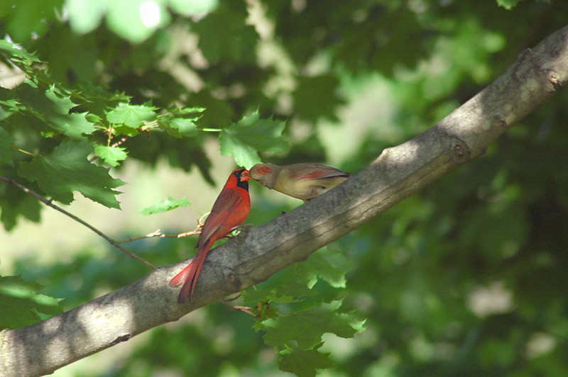 The Kissing Cardinals-Unaware I was standing under the branch, the couple shared a seed as an expression of affection