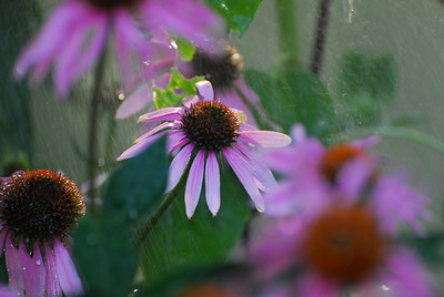 A young coneflower fights in the Summer rain to reveal its beauty
