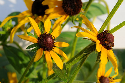 Black eyed susans by the white pickette fence
