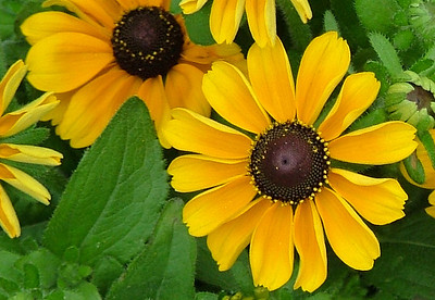 """Black eyed susans looking """"bright eyed and bushy tailed"""""""