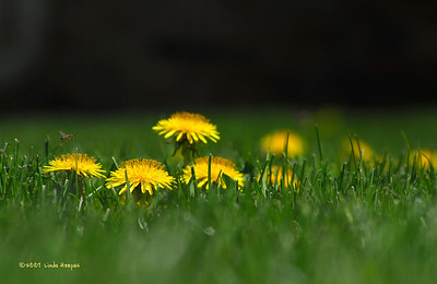 """This oasis of dandelions makes for a good """"fast food"""" place for the bee."""