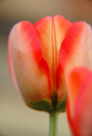 Crawling around on the ground one morning this tulip was discovered to be at the prime of its glory. If you look you may see the single dew drop poised for this magical moment