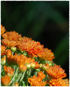 Mums covered on a blank of morning dew