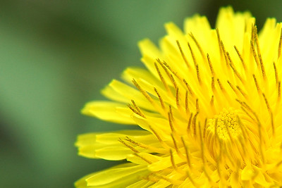 """In yo face""    Macro photo of a dandelion"