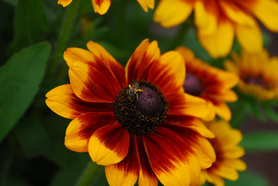 Black eyed susans with a bee