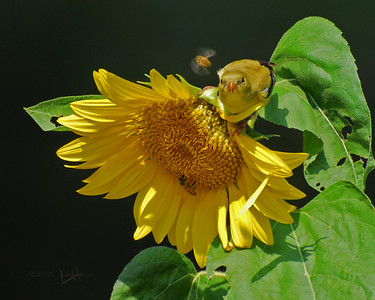 "This hot day in August the Gold Finch ""chowing down"" on a sunflower ripe with seeds. But the honey bees had the same idea. It looks as though the bird is looking right at the bee in a ""fly by"" moment. Is the bird contemplating taking a bite out of the bee?"