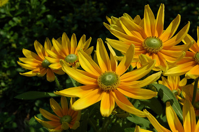 Black eyed susans eyeing the sunlight