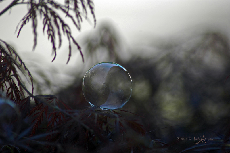 The delicate bubble rests ever so lightly on the pointed leaves of this bush