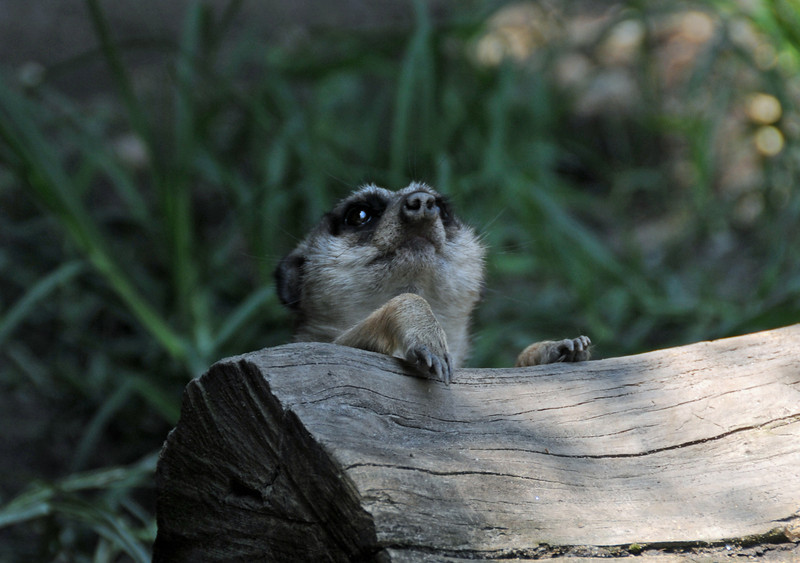 This Meerkat is posing for a glamour shot at the zoo. As soon as the Meerkat spotted my camera, it began to pose in many different positions and facial expressions.