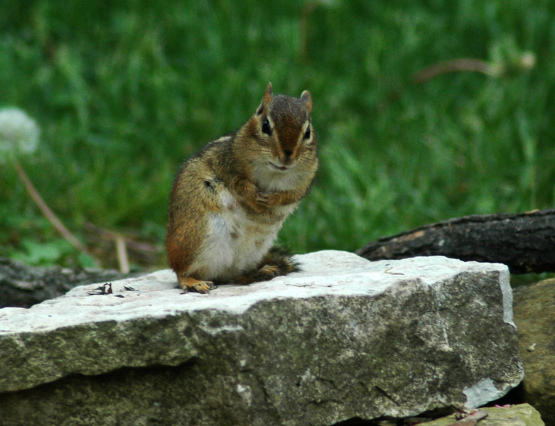 This chipmunk seems to be about to make a speach