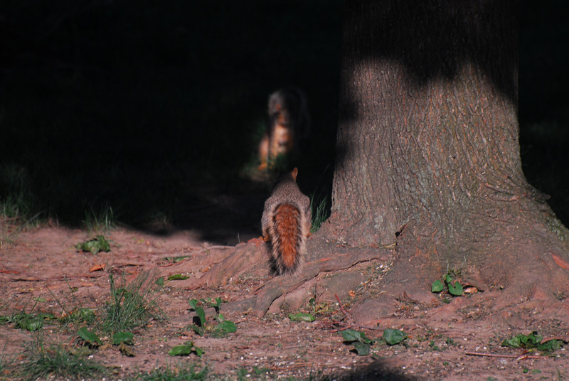 One squirrel encounters another in the shadows