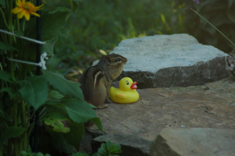 This chipmunk has the protective parental position as it watches over the rubber ducky at the neighborhood pond