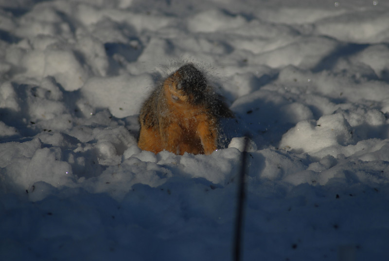 After digging for his hidden stash of acorns this squirrels vigorously shakes off the snow from his fur