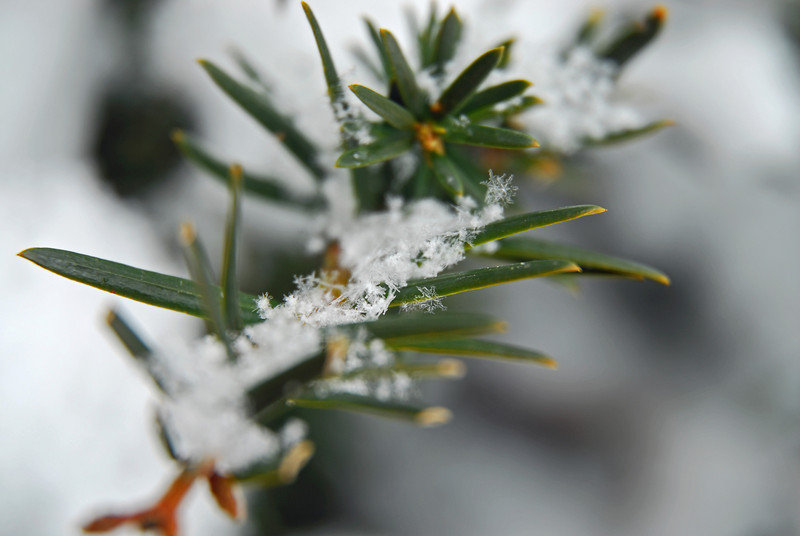 Yew gather together... the snowflakes fall, one by one, on this yew plant branch
