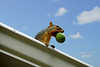 "This squirrel is a little ""nutty."" He has been hiding his stash of nuts in the gutters. This past year new gutters were installed... much to his surprise... his reserve was gone. Now he is rebuilding his stash again. The old gutters were full of little trees when they were removed... wonder how that happened?"