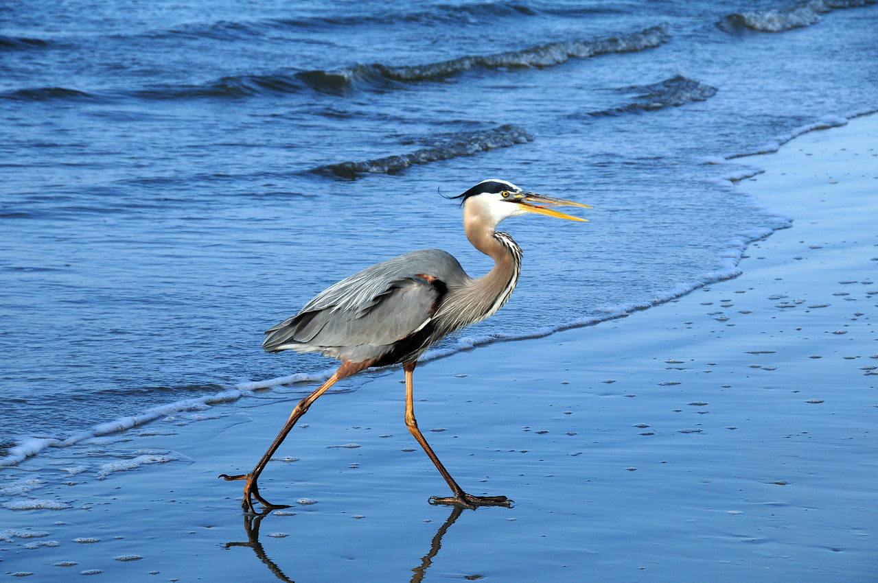 This Great Blue Heron strolls up the beach in anticipation of a treat from a fisherman. I named this great bird Spiritual Splendor many years earlier when he blessed my day by landing within three feet of me as I stood on the shore photographing dolphins. SS thought I was fishing and came to beg for bait. After a few moments it spread its wings and took flight, but not before changing my life forever and giving me the most beautiful photograph ever taken in my collection. Taken on my birthday, I treasure the photo and see it as a gift from God, because my gift of photography is a gift from God. This photograph was also taken on my birthday of Spiritual Splendor as he strolls along the beach, but this is a few years later. He is begining to show his age, but still looks beautiful to me as a blessed creation of God's. Each time we visit the beach, I search for SS with the understanding that one day he will no longer be around. But I've been blessed to have had such a close encounter with such a beautiful bird.