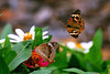 For many moments I observed this pair of  Buckeye butterflies and they went through the courting ritual. The speed that each were flying is not evident in this picture that was taken with a very fast shutter speed.