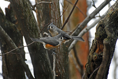 """For the past 2 years I've wanted to digitally capture a tufted titmouse in a natural setting. However, those that visit my feeders seem a bit skittish. Whenever I was about to """"take the shot"""" they would fly off. This particular day I noticed a titmouse frequenting the feeder closest to my house! Lying in wait... within minutes it showed up. Strangely, it looked upward and seemed to begin to sing (which I was able to photograph). Seconds later, to my surprise and delight, a second titmouse appeared in my viewfinder. Without hesitation I snapped away. This is one of a few of the images captured in that rare moment. A two-year mission accomplished. What seemed to be a frequent visit by one titmouse was in fact visits by two titmouse (or is it titmices?)."""