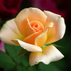 This peach colored rose is better known as the Peace rose.