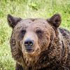 Old Bear Portrait, Zărnești