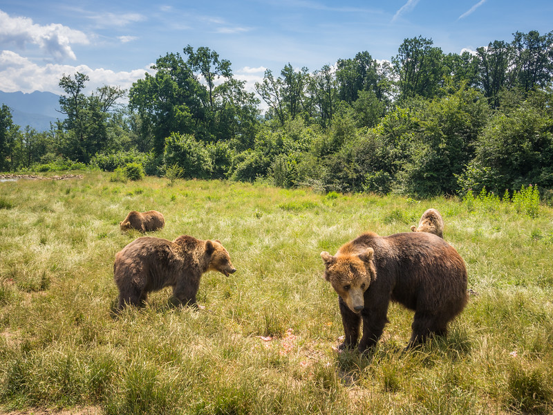 Bears at the Sanctuary, Zărnești