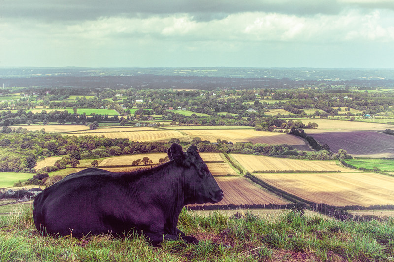Daisy the Dairy Cow looks out over the Sussex Weald from Truleigh Hill close to the famous Devil's Dyke