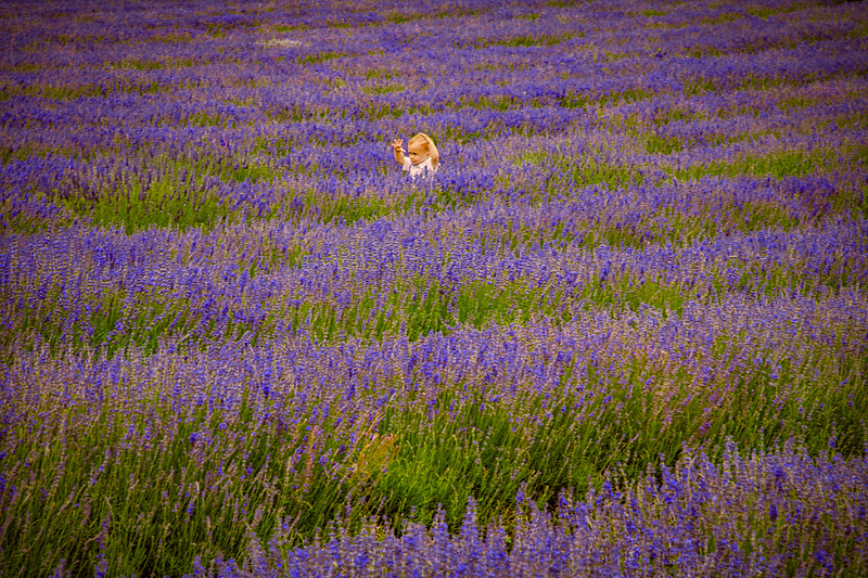 Lost In The Lavender