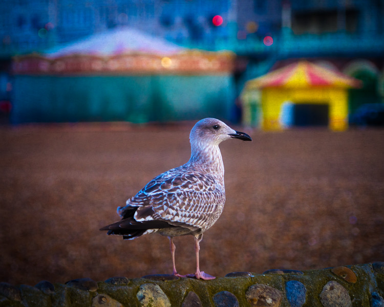 Baby Herring Gull