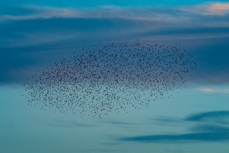 The Nightly Murmeration