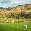 Sheep and the Welsh Hills, Capel Curig