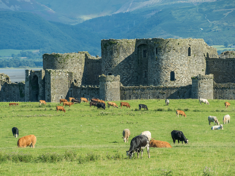 Castle and the Cows, Beaumaris, Wales