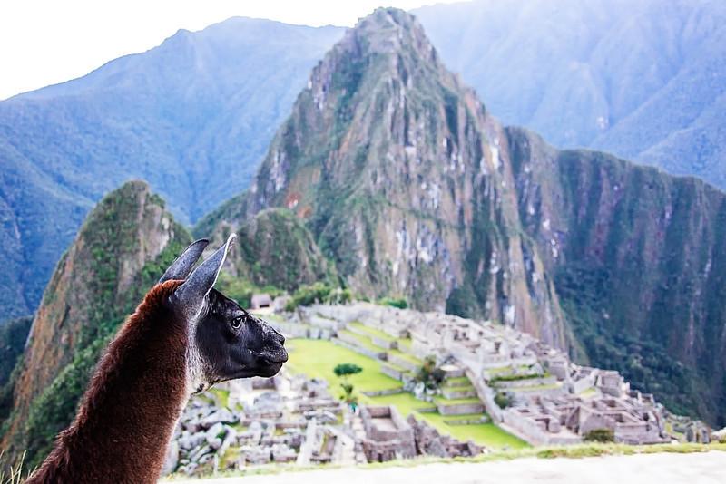 """""""Alpaca Heaven"""" - Machu Picchu - Peru"""