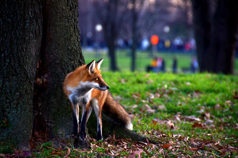 Fox in the Park