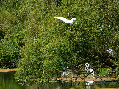 Egrets in and above the Goat Farm Pond