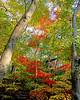 Maple Tree in full Autumn splendor at Bailey Arboretum.