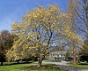 Magnolia Tree in front of mansion in Bailey Arboretum.