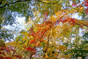 Japanese Maples at Bailey Arboretum.