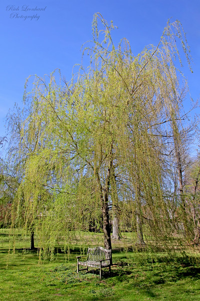 Weeping Willow with park bench at Bailey Arboretum.