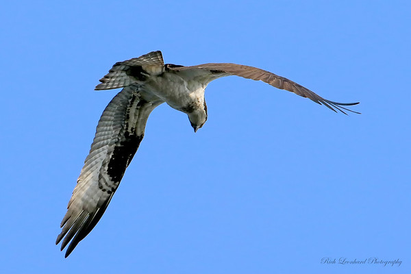 Osprey flying over Bayard Cutting Arboretum.