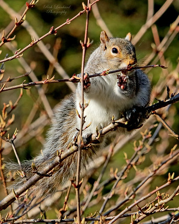 Rocky the Squirrel at Bayard Cutting Arboretum.